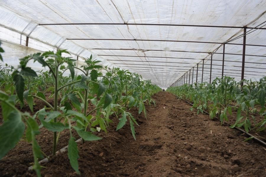 Programul de sprijin pentru tomate continuă și în 2018 [sursa: madr.ro]